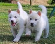 CUTE S.I.B.E.R.I.A.N H.U.S.K.Y Puppies: contact us at(412) 423-6575