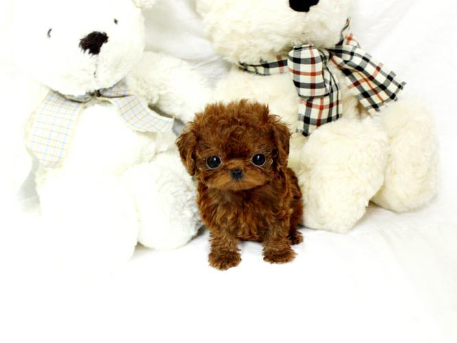 Pennysaver Micro Teacup Poodle Puppy In New York New York