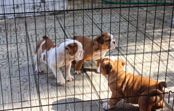 Healthy liters of English bulldog puppies available
