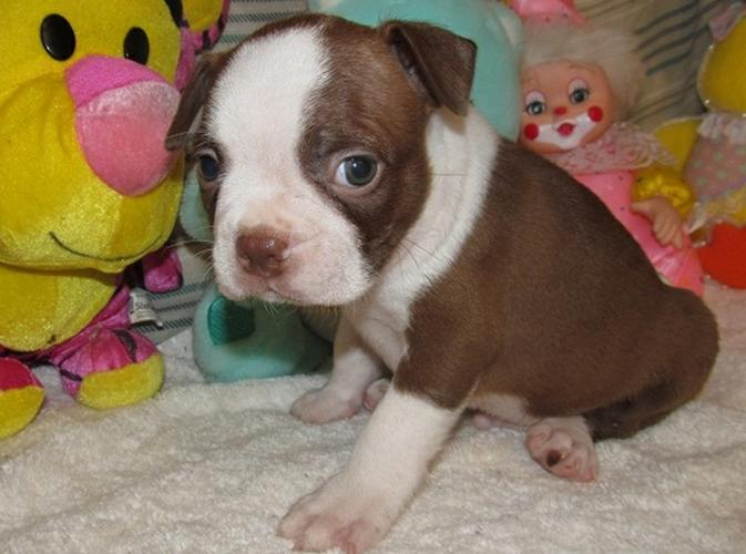 outstanding boston Terrier for sell she is so beautiful and well brought up