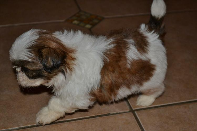Fantastic Female and Male S.H.I.H T.ZU  Pu.pp.ies for new home (385) 202-3841
