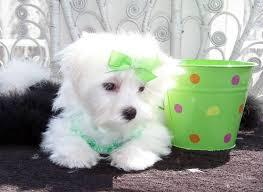 Top Quality Malteses Puppies:....contact us at(302) 595-1097