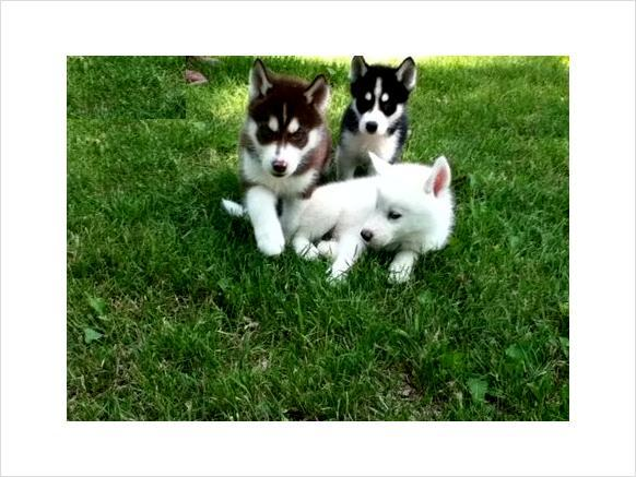 Charming Siberian Husky Puppies  for adoption..