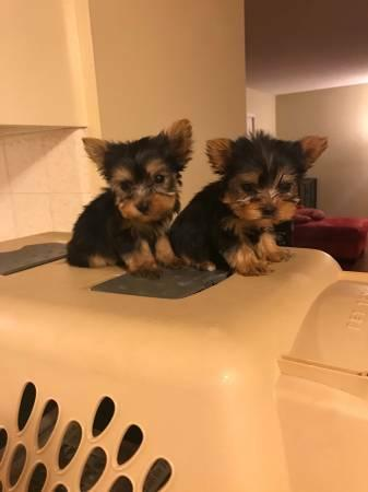 Purebreed   Yorkie puppies for rehoming