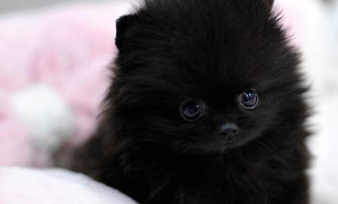 !!Male and Female Pomeranianss Puppies Available (234) 221-8948