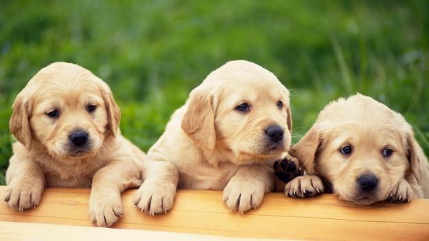Smooth  Quality Golde.n Retrieve.r Pups . (434) 248-0822