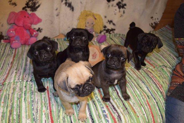 PennySaver | Free Pug Puppies for adoption  in Kenosha