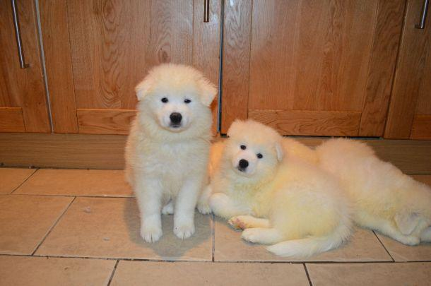 PennySaver | AKc Registered Superb Samoyed Puppies For Sale