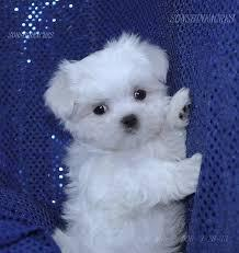 ###  Potty Trained M.a.l.t.e.s.e Pups for Re- homing:...