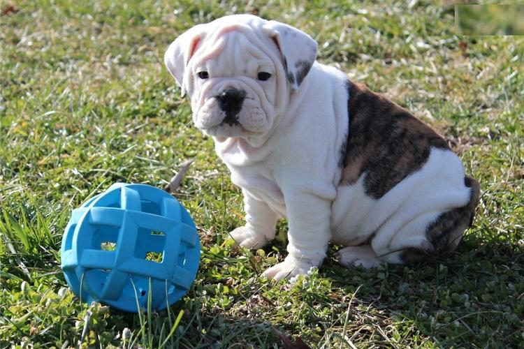 * *# # Quality Englishh Bulldoggss Puppies:....** 443 377-3615