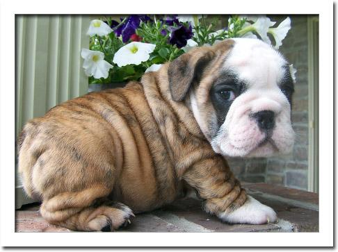 * *# # Quality Englishh Bulldoggss Puppies:....** 614 407-8736