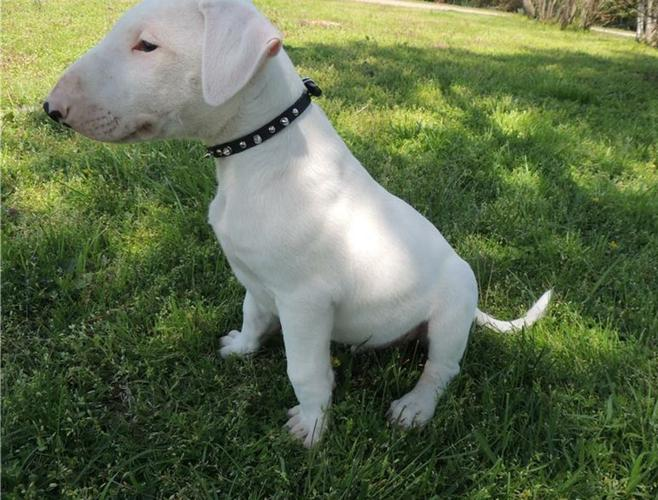 Requisite AKC English Bull Terrier Puppy for Sale SMS (423) 254-0645