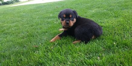 Female and Male G.E.R.M.A.N R.o.t.t.w.e.i.l.e.r puppies SMS (315) 514-0280
