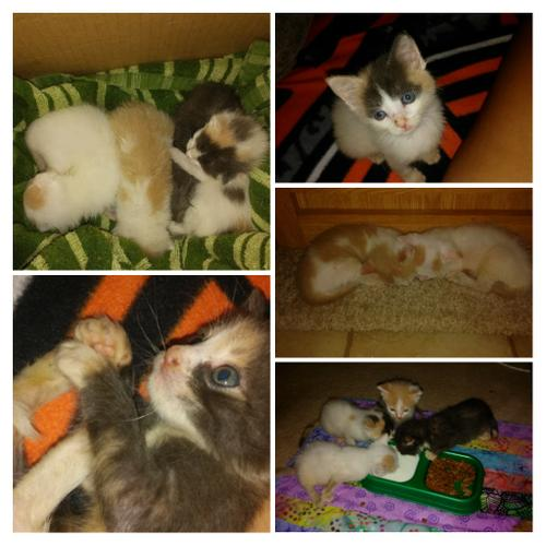 7week old bottle fed kittens free to loving homes