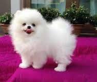 Healthy P.O.m.A.R.A.N.I.A.N puppies for free (972)-472-1279