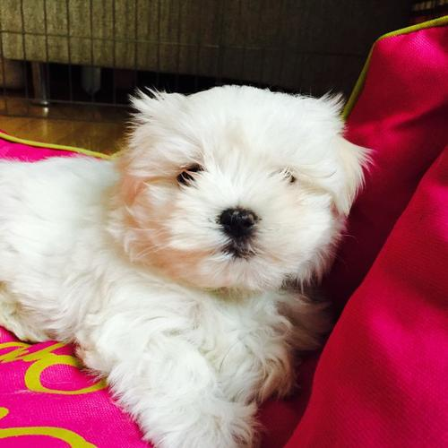 XMASS Tiny CUTE Tea-cup Malteses Pu.ppies to Good homes, (708) 356-7268 .