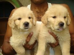 Top Quality Golde.n Retrieve.r Pups . (254) 836-2882