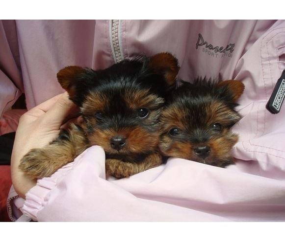 Pretty Female and Male Tea Cup Y.O.R.K.I.E puppies