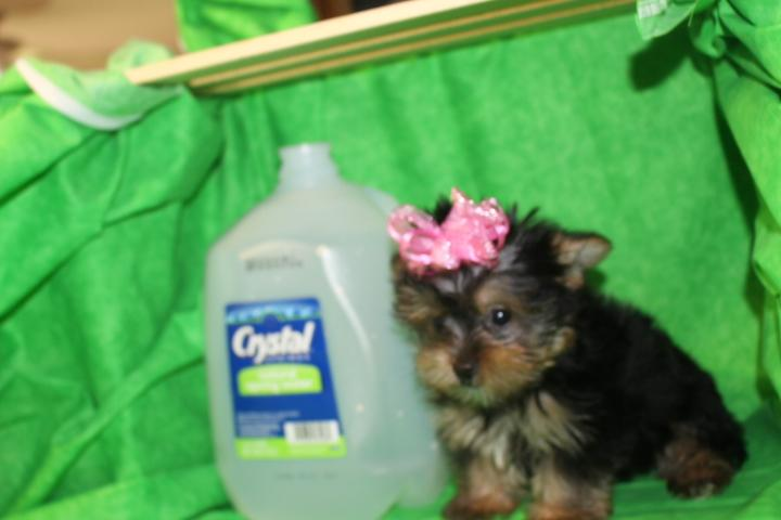 ?Y.o.R.k.i.e P.upp.i.e. For F.R.E.E, Ready Now 12 Weeks Old # (216) 236-1433