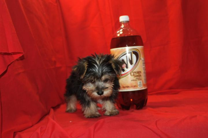 ?Y.o.R.k.i.e P.upp.i.e.s For F.R.E.E, Ready Now 12 Weeks Old # (216) 236-1433