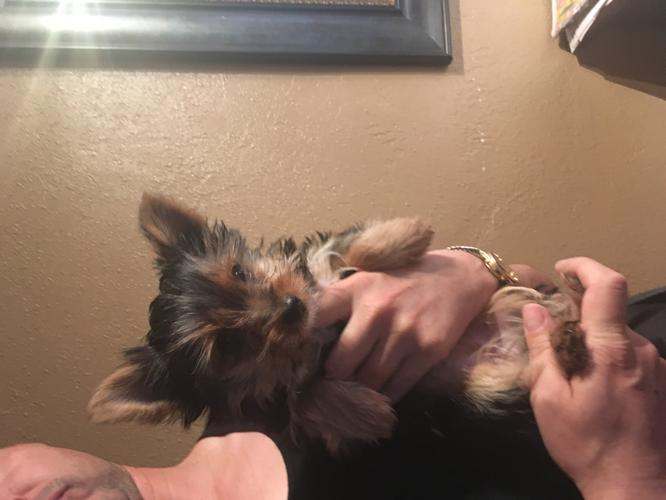 Yorkie puppy for sale female