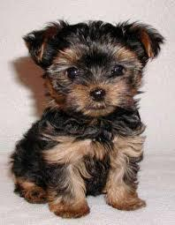Trained Tea-cup Yorkies Pu.ppies ) Need Hom   (915) 996-2344 We have 2 beautiful gorgeous Tea