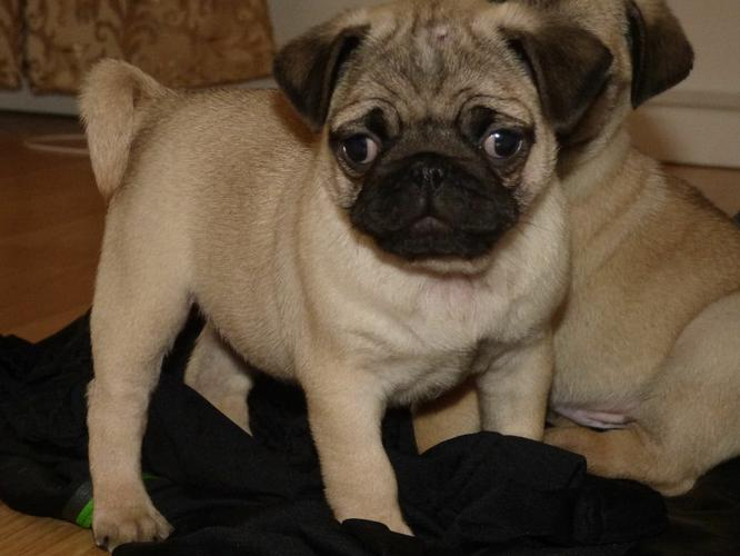 Pennysaver Pug Puppies For Sale Now Reduced Price In San Diego