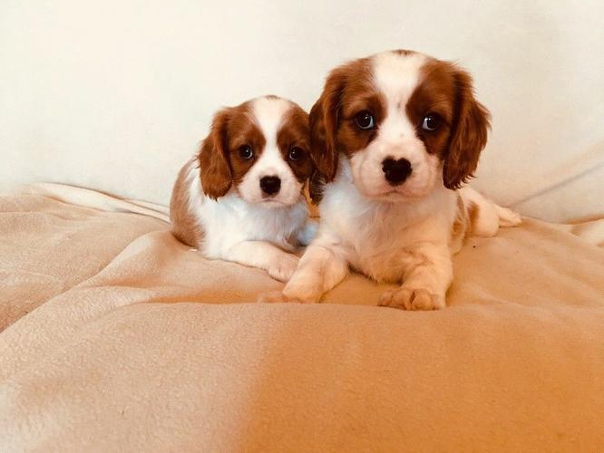 Beautiful cavalier king charles puppys for sale