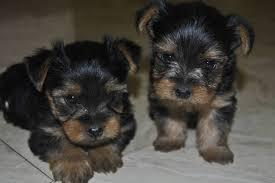 ?Y.o.R.k.i.e P.upp.i.e.s For F.r.e.e, Ready Now 12 Weeks Old #(423) 391-6961