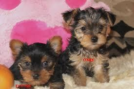 Y.o.R.k.i.e P.upp.i.e.s For F.r.e.e, Ready Now 3 months Old # (848) 467-8712