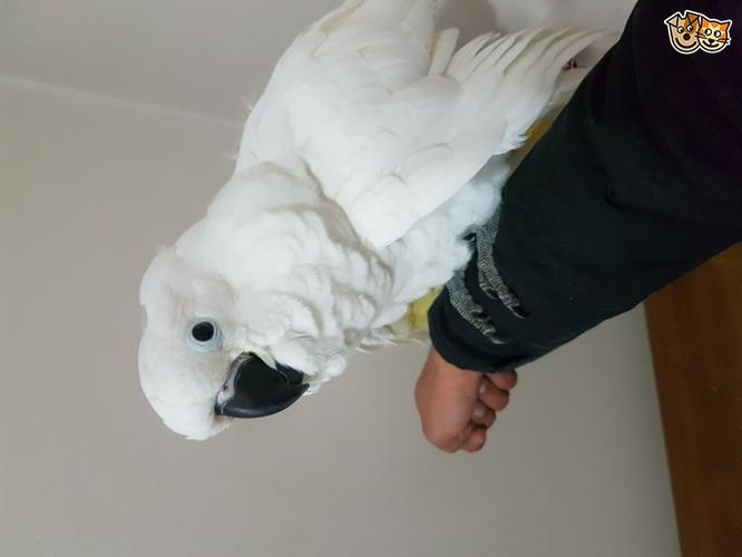 Adorable Hand Reared Baby Umbrella Cockatoo
