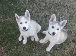 Free Gorgeous S.I.B.E.R.I.A.N H.U.S.K.Y Puppies(Not For Sell Free) Need Home(443) 377-3443