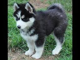 Quality siberians huskys Puppies:contact us at(774) 316-3140