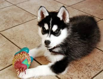 Akc registered Siberian Husky puppies