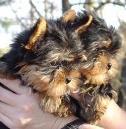 CUTE Y.O.K.I.E. Puppies: contact us at(617) 313-3357