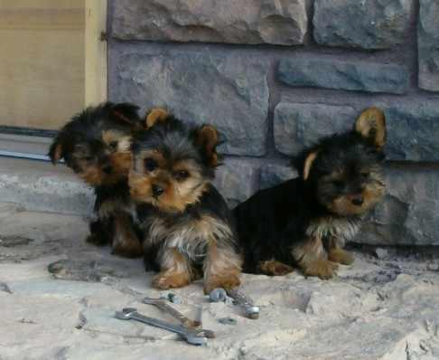 CUTE Y.O.K.I.E. Puppies: contact us at(617) 313-3357