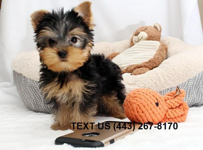 Cute Quality y.o.r.k.i.e P.u.p.s (240)2572129