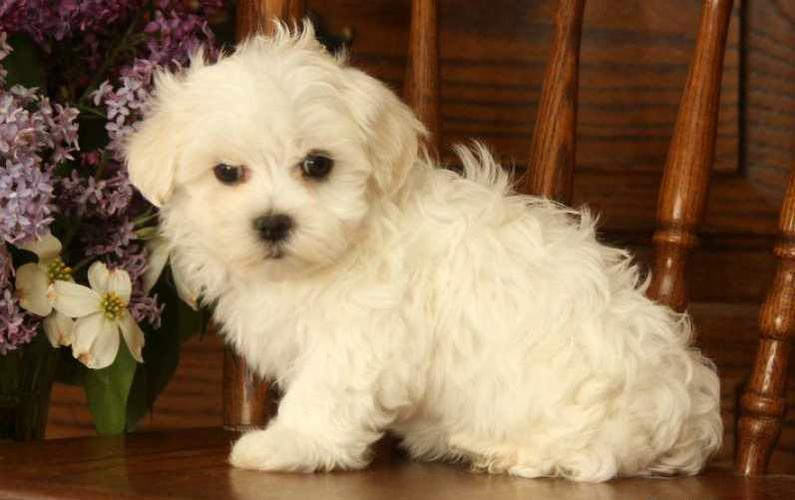 Free Malteses Puppies For Good Home