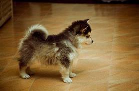 AKC Registered Purebred Siberian Husky Pups For Sale (573) 402-1990