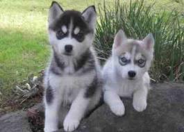 AKC Registered Purebred Siberian Husky Pups For Sale (573) 402-1990