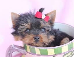 AKC teacup yorkie puppies registered with AKC215-716-8991