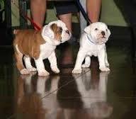 Cute M/F English B.u.l.l.d.o.g Puppies!!! (515) 329-2625