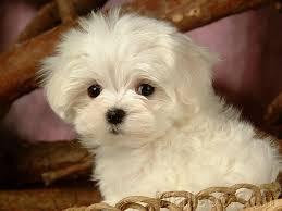 FREE FREE CUTE M.A.L.T.E.S.E Puppies: