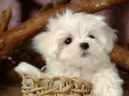 FREE FREE CUTE M.A.L.T.E.S.E Puppies