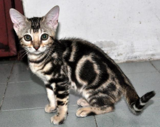 Purebred Bengal Leopard Kittens--Registered