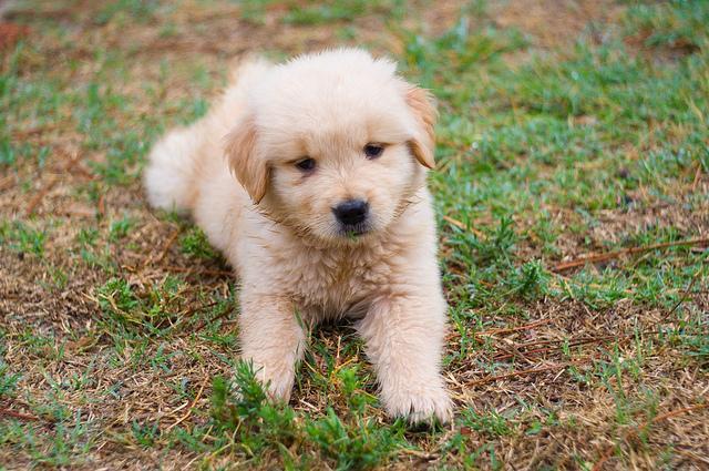 Cute GOL.D.E.N  R.E.T.R.I.EVE.R Puppie.s 360 646-8485