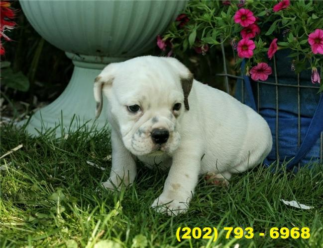 Purebreed English Bulldog Puppies