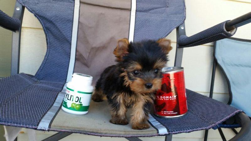 ??? Trained Tea-cup Yorkies Pu.ppies ) Need Hom ???  (915) 996-2344 We have 2 beautiful gorgeous Tea