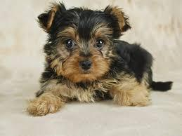 Yorkie Puppies Males & Females $300.00