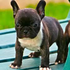 Cute F.r.e.n.c.h B.u.l.l.d.o.g Puppie.s(443) 351-7250